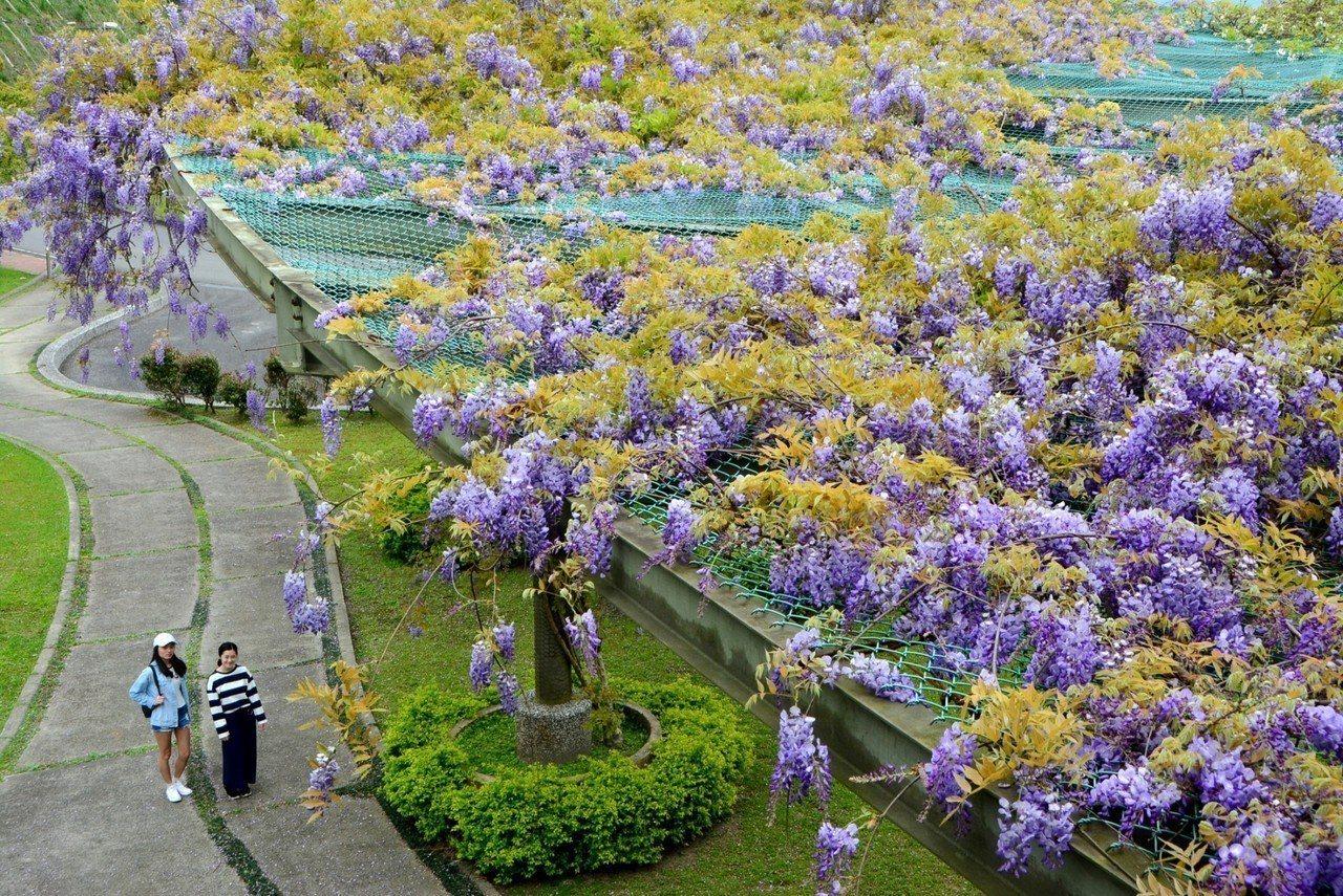 佛光大學校園的動植物生態豐富,圖為美麗的紫藤。佛大提供