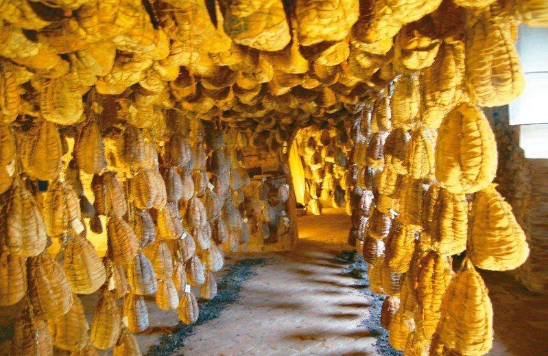 超過四百年的地窖中吊垂著古拉泰勒(Culatello di Zibello)火腿。 圖/徐仲