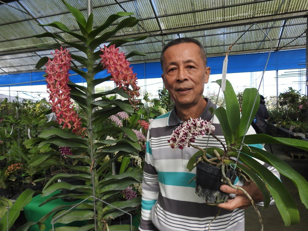 南投縣蘭花達人魏榮泰身旁橘紅色系栽種達16年,其高度超過1米7,比成年男性還高。...
