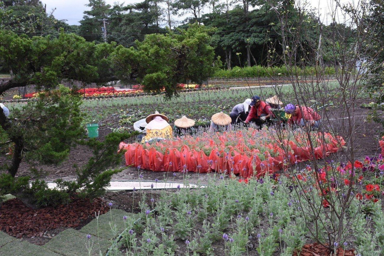 花蓮市公所在美崙地區的介壽新村社區花園打造冬季花海,近日正加緊趕工。圖/市公所提...