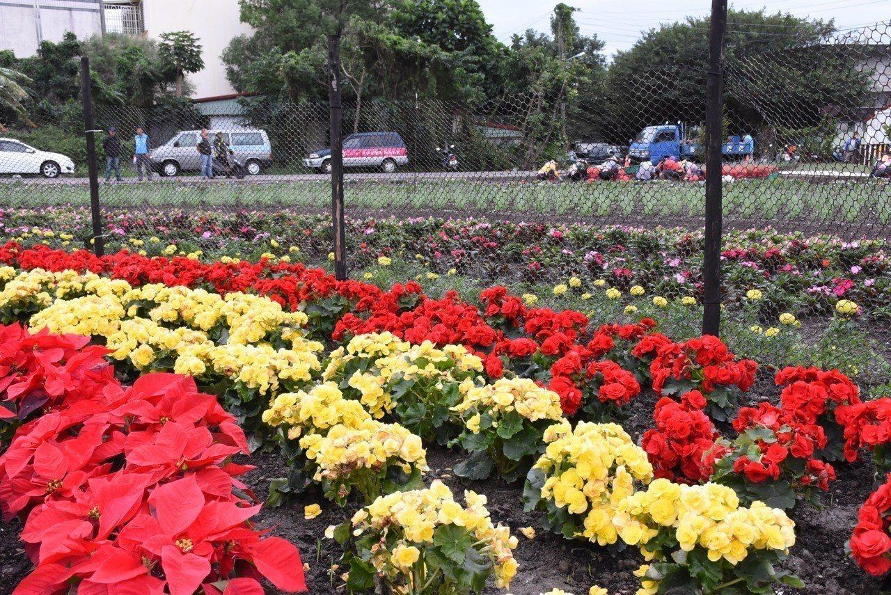 花蓮市公所在美崙地區的介壽新村社區花園打造繽紛亮麗的冬季花海。圖/市公所提供