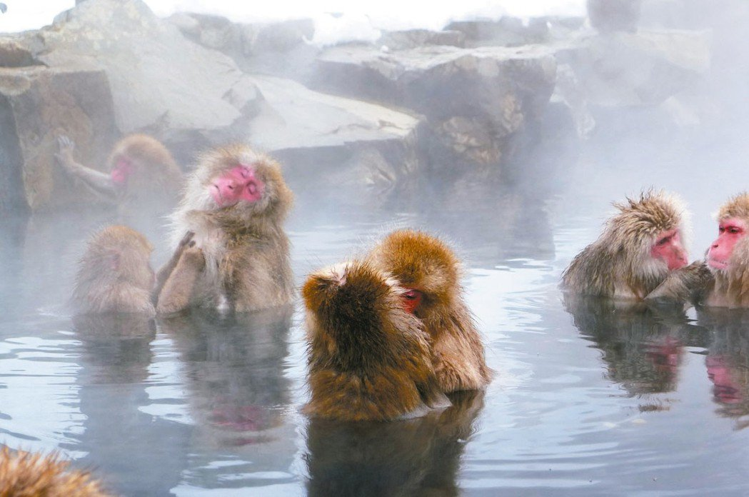 日本雪猴泡溫泉,模樣看來十分陶醉。 圖/讀者提供