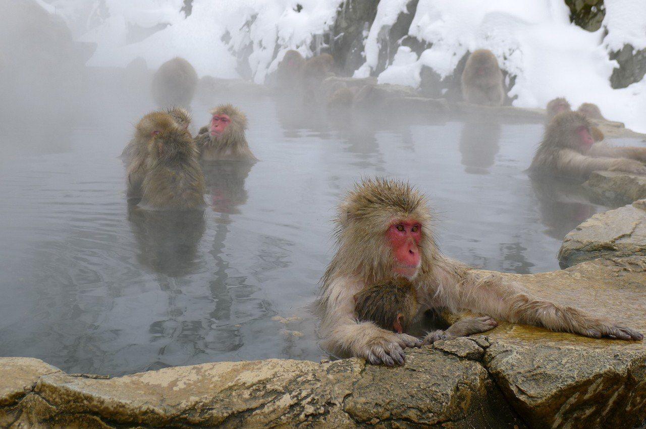 日本雪猴泡溫泉。圖/讀者提供