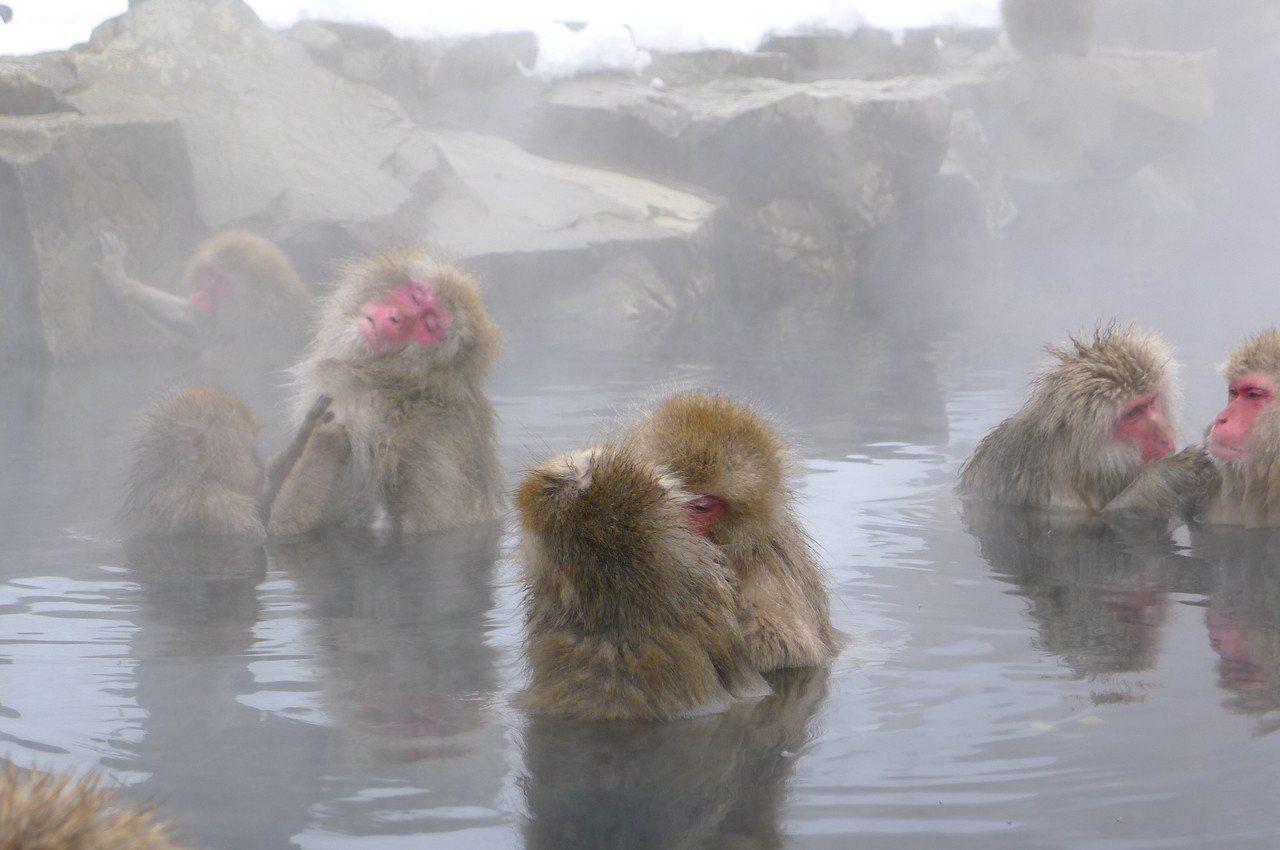 日本雪猴泡溫泉,模樣看來十分心醉。圖/讀者提供