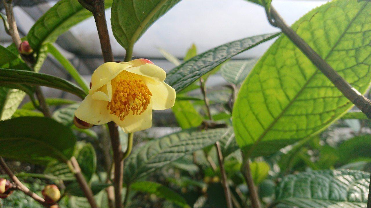 最近氣溫驟降,怡馨緣山少見的「凹脈金花茶花」綻放。記者卜敏正/攝影
