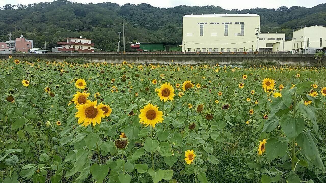 竹北市公所打造向日葵花海。記者郭宣彣/攝影