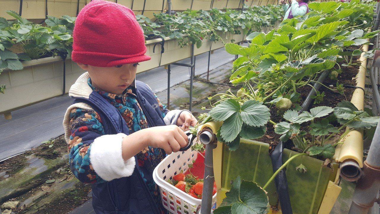 元旦連假第一天,苗栗縣大湖地區一些草莓園都出現採果人潮,小朋友跟家長來採草莓,顯...