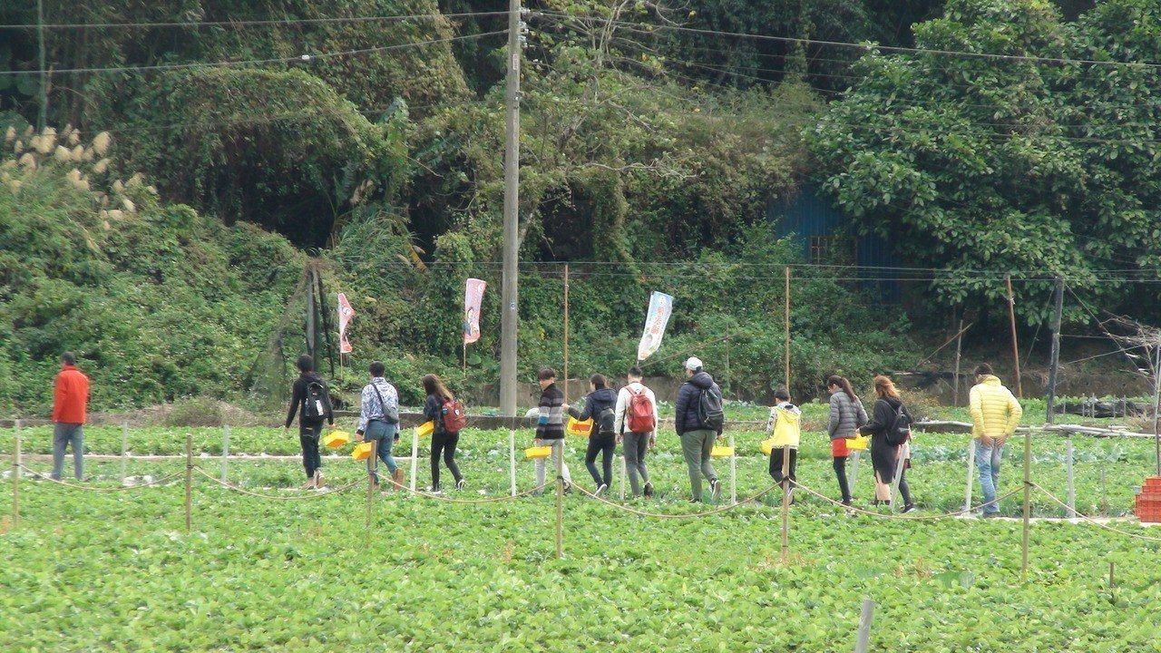 元旦連續假期第一天,苗栗縣大湖地區的草莓園出現採果人潮。記者胡蓬生/攝影