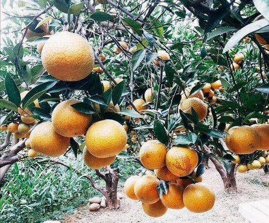 頭屋新景點橙香森林周圍種植橘子,即日起提供民眾採摘,門票可抵採橘子費用。圖/摘自...