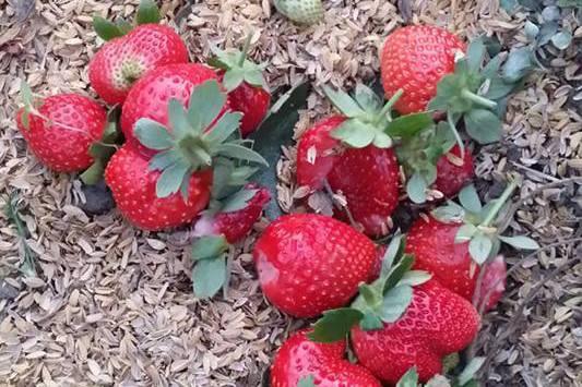 苗栗縣大湖鄉開心草莓園遇到奧客,草莓果實散落。圖/開心草莓園提供