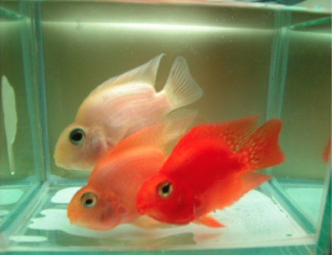 紅白魚對照。圖/大同大學提供