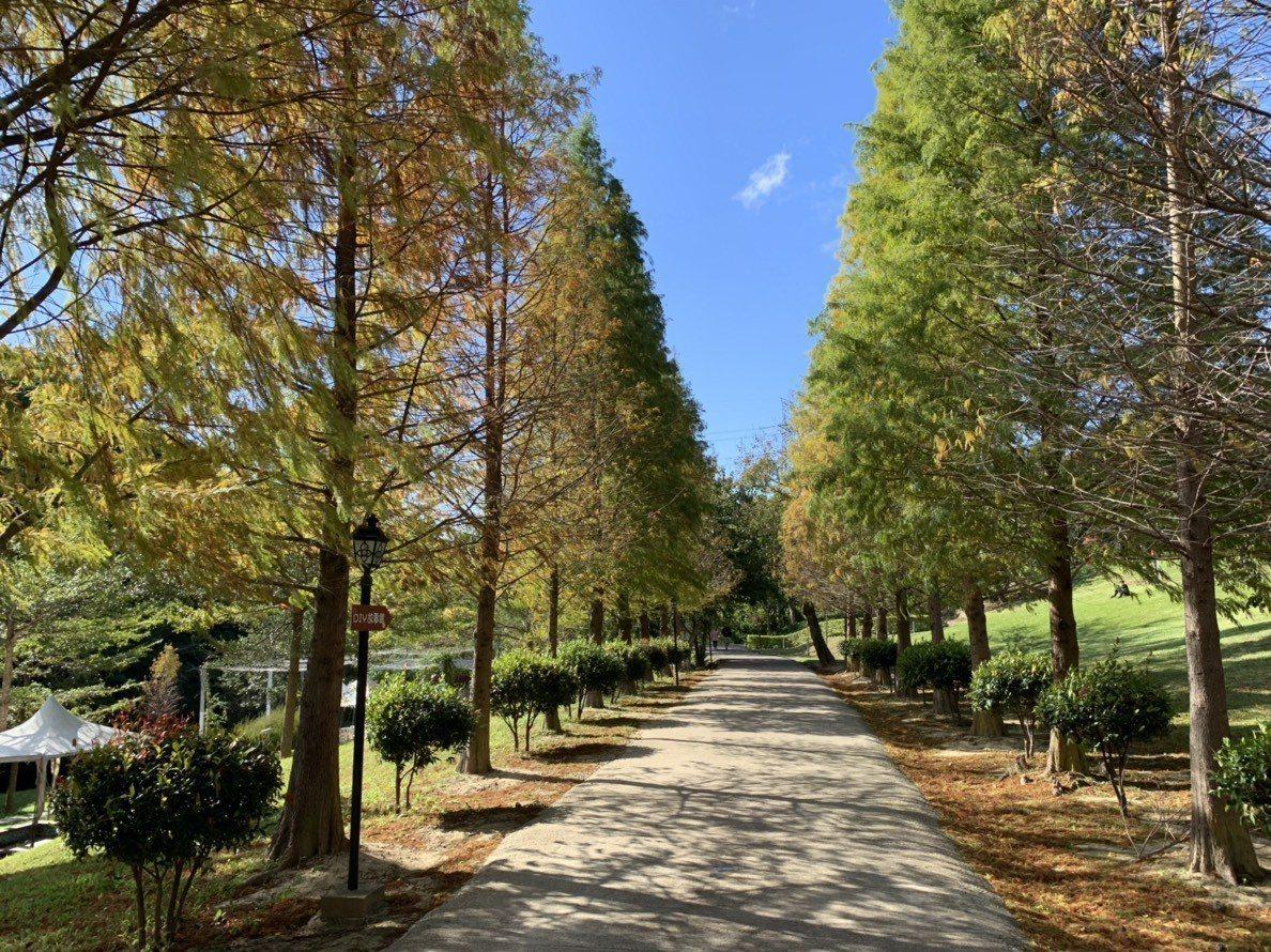 新竹縣芎林鄉的心鮮森林5年前開園,近萬坪的園中種了超過50棵的落羽松,其中有一條...