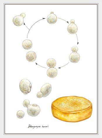 漢遜氏德巴厘酵母菌 圖╱摘自《菇的呼風喚雨史》