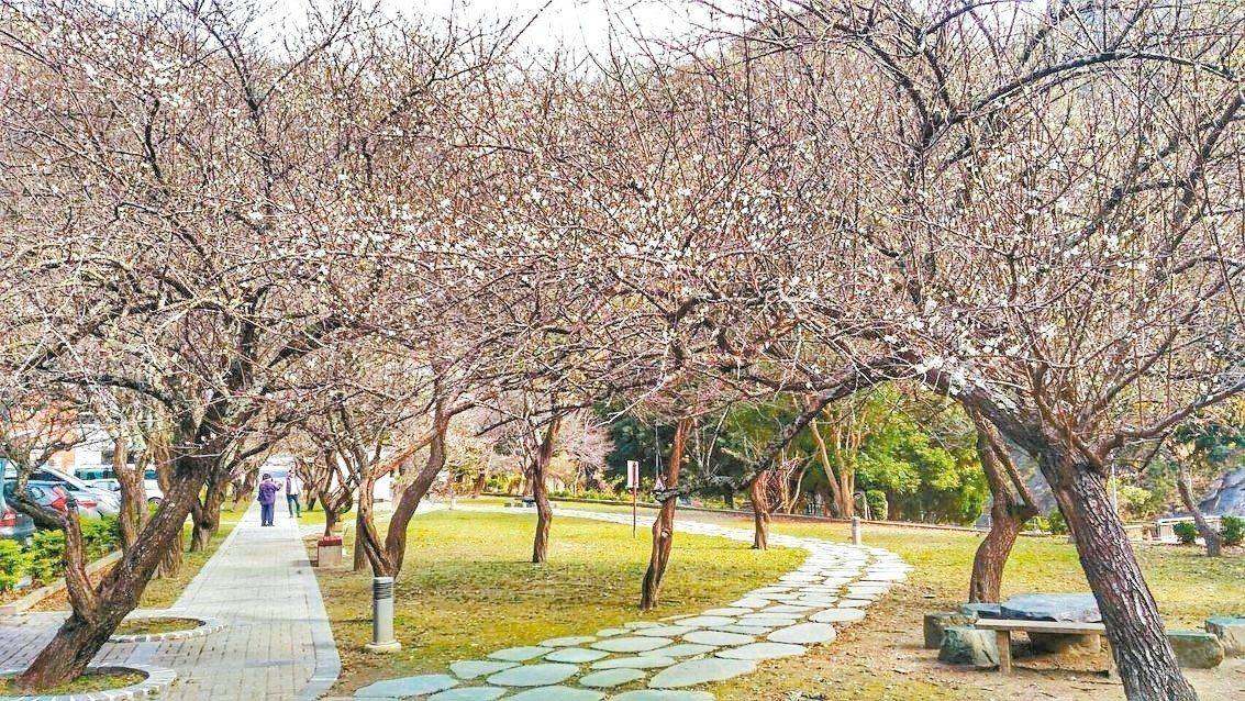梅花迎春,春節假期走訪太魯閣,有機會看到飯店前花朵盛放的梅園。 太魯閣晶英酒店/...