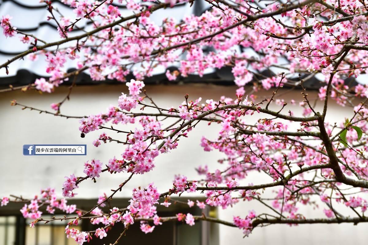 滿樹粉紅的美景,配上灰瓦、白牆十分漂亮。圖/《漫步在雲端的阿里山》粉絲團授權使用