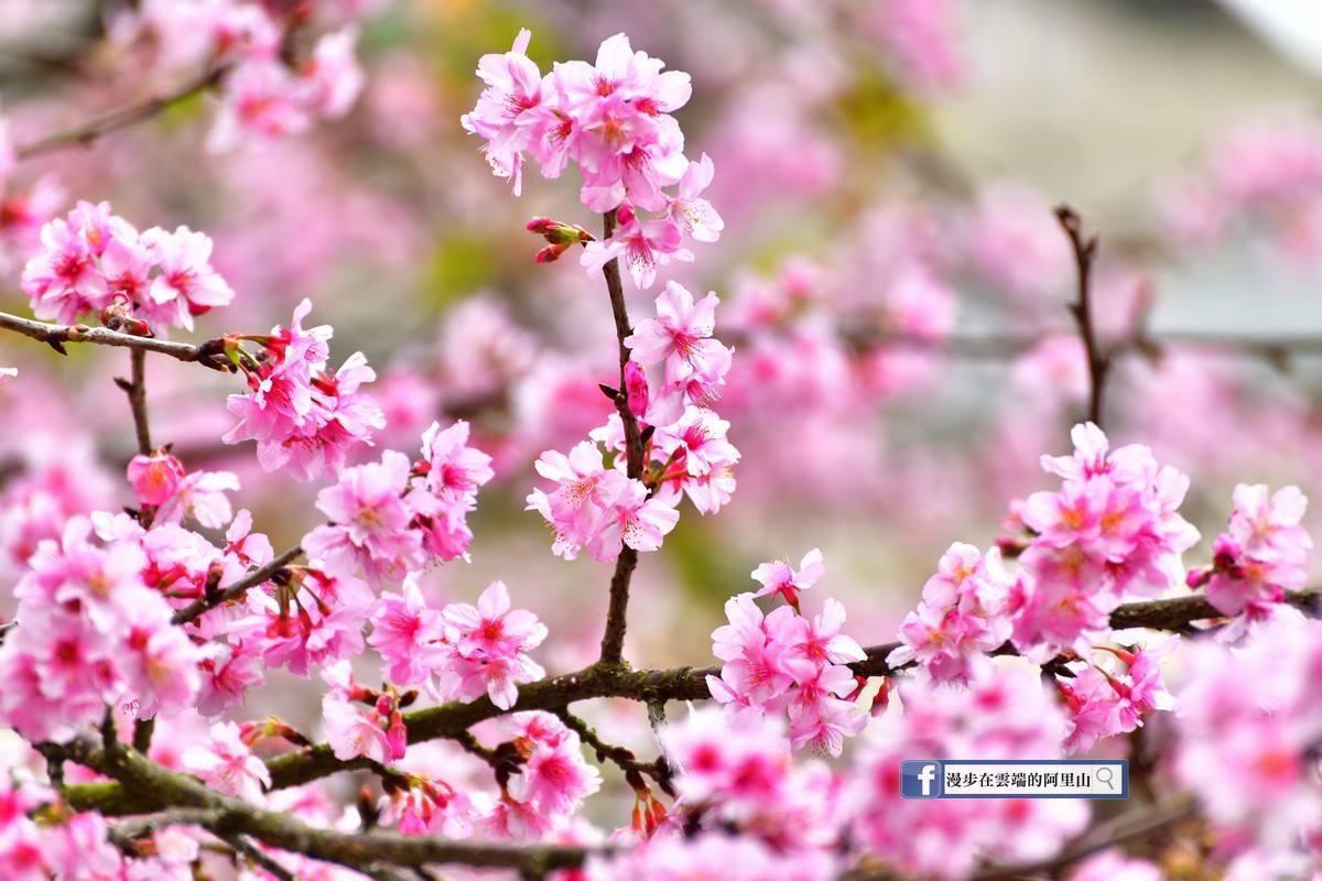 阿里山河津櫻已經盛開,目前正適合賞櫻。圖/《漫步在雲端的阿里山》粉絲團授權使用