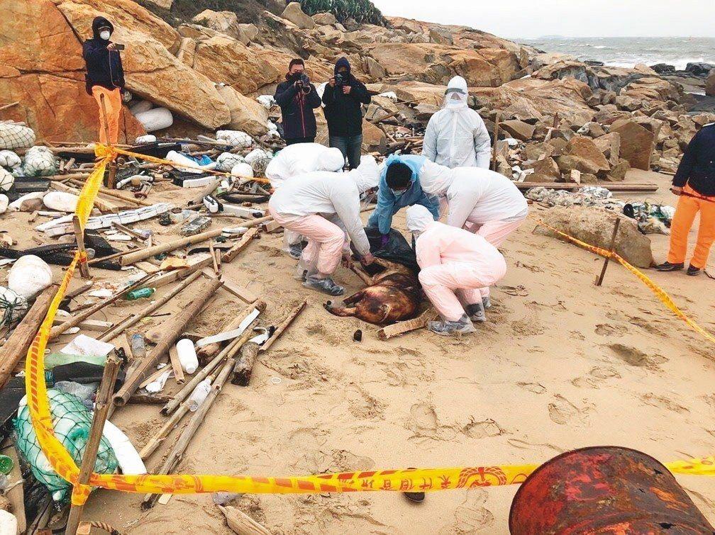 金門海邊2018年12月31日驚現漂流死豬。 圖/金門岸巡總隊提供