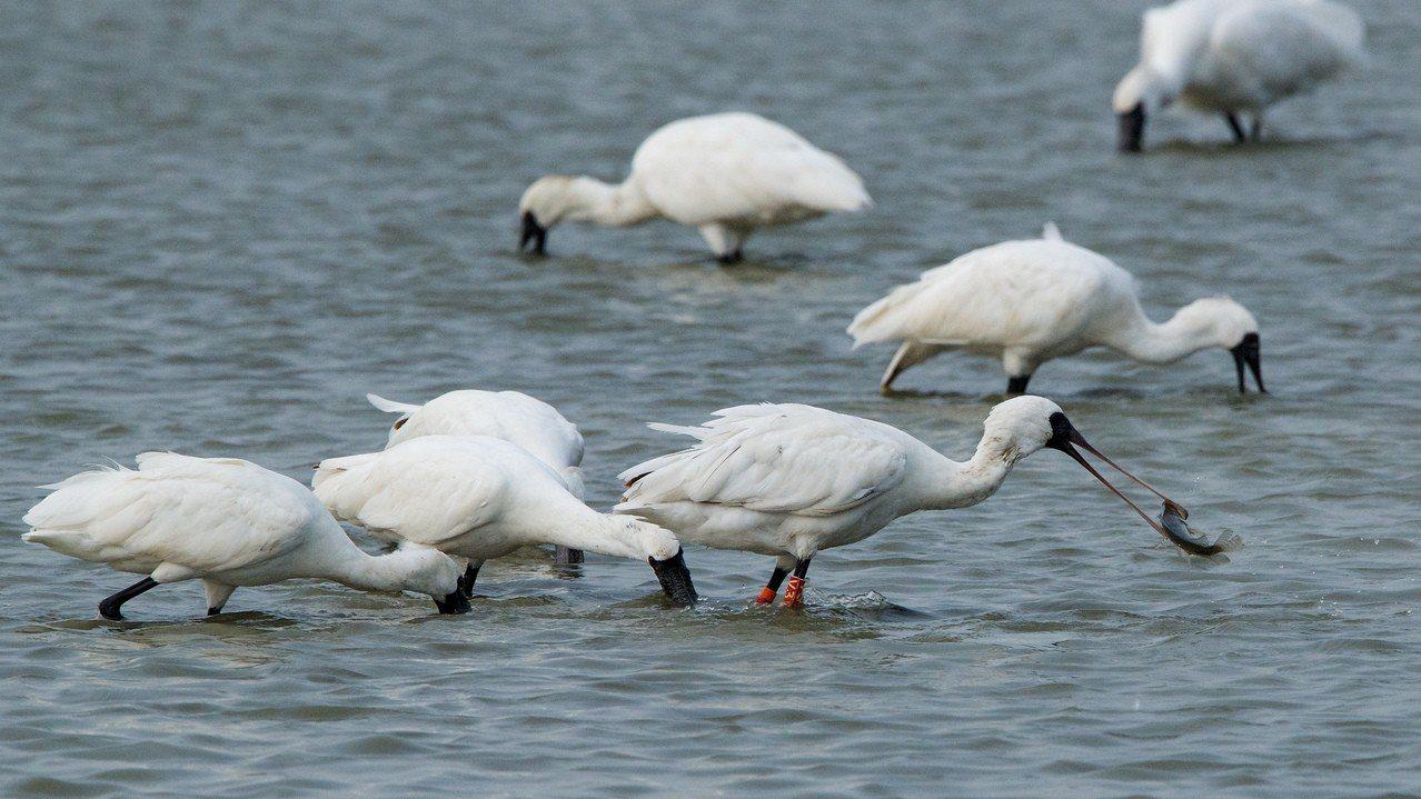 黑面琵鷺在茄萣濕地淺水區覓食。圖/高科大教授張順雄提供