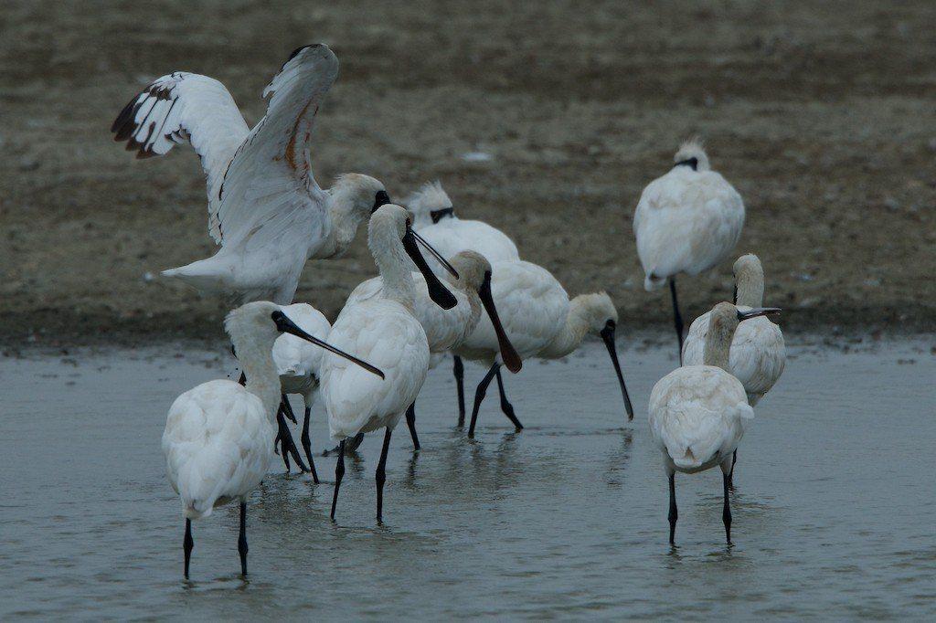 黑面琵鷺成群來茄萣濕地度冬。圖/高科大教授張順雄提供