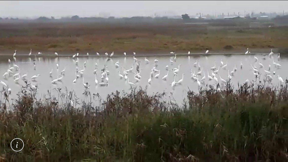鳥友茄萣濕地快報,八角亭前爆池全是水鳥。圖/茄萣溼地志工龍少提供