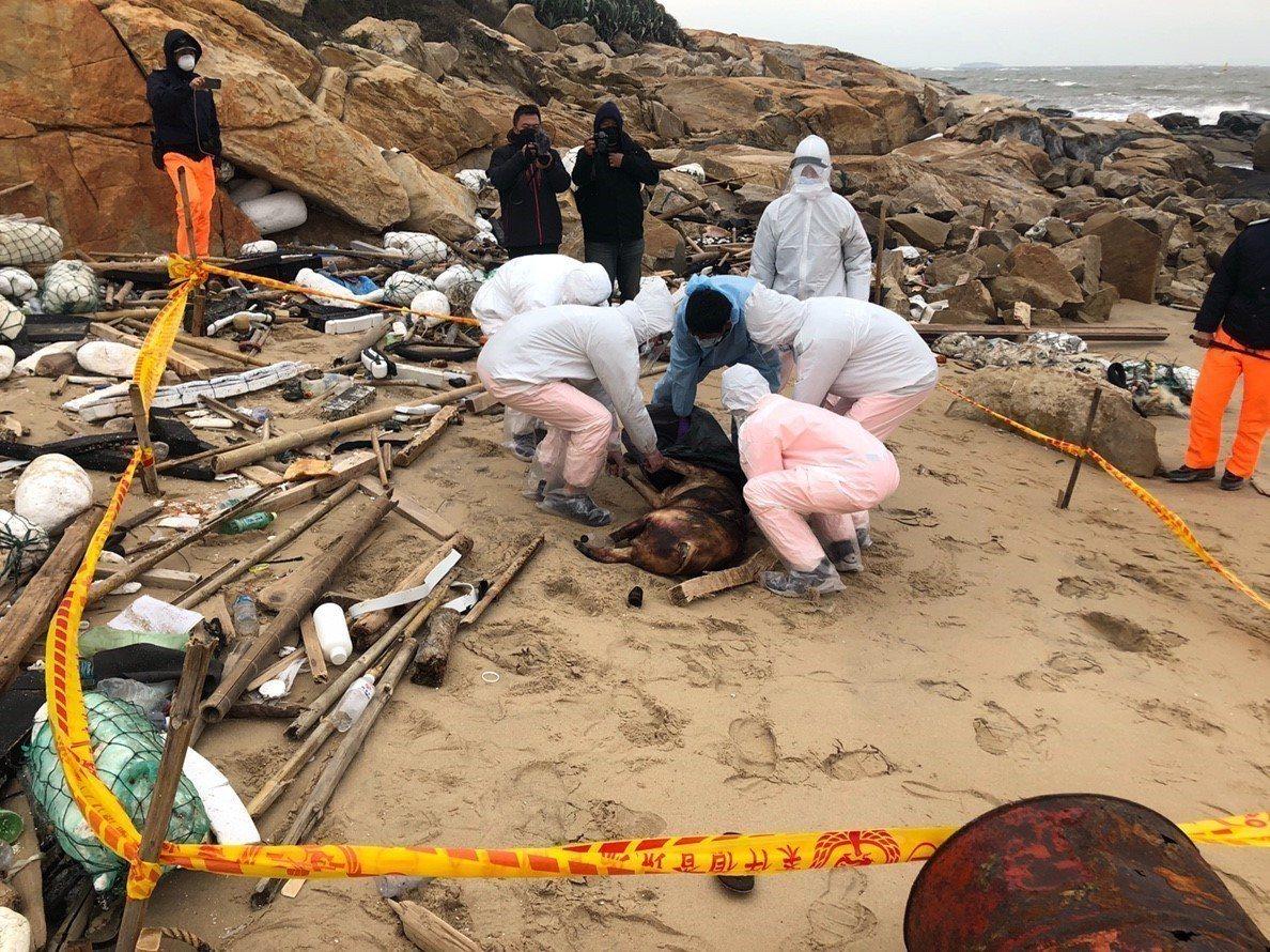 農委會今天表示,去年底漂至金門岸際的死豬檢體結果非洲豬瘟檢驗結果為陽性。圖/金門...