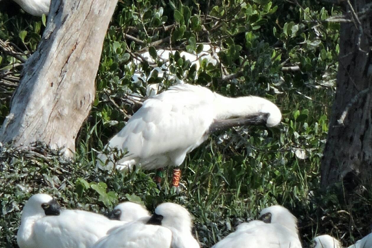 溼地解說員黃月英拍下V29停棲樹上整理羽毛的英姿。圖/黃月英提供