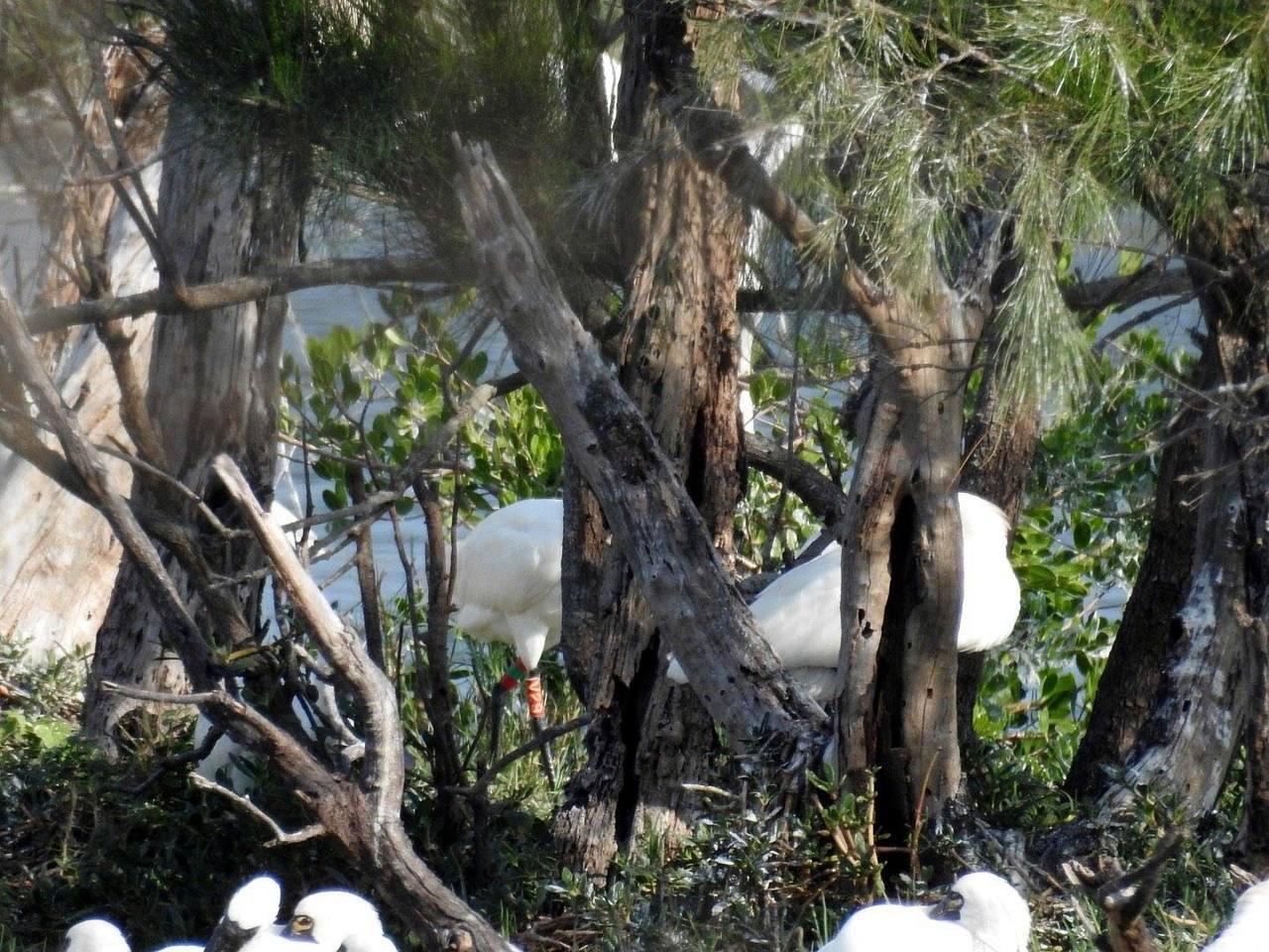 溼地解說員王美錦拍到繫有腳環的黑面琵鷺V29,隱藏在樹林裡只露出腳環的畫面。圖/...