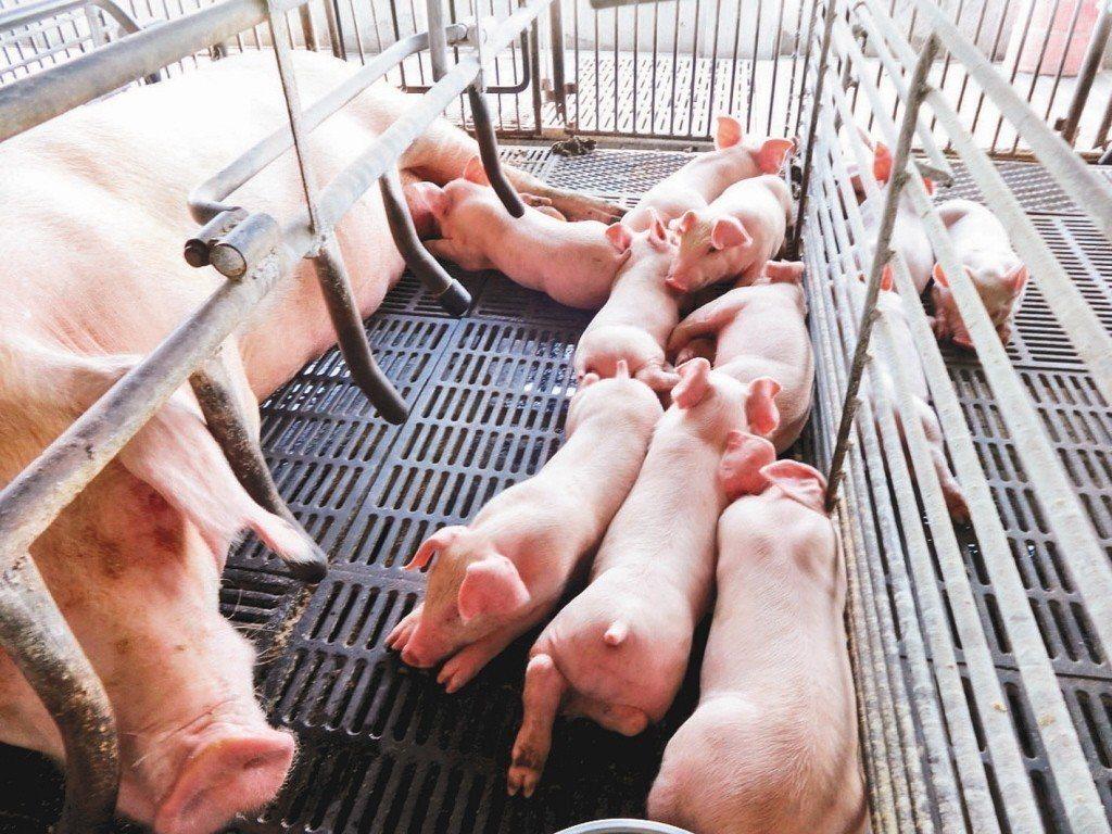 非洲豬瘟疫情有擴大的趨勢,農委會防檢局全面防疫,農民飼養豬隻將更謹慎。 聯合報系...
