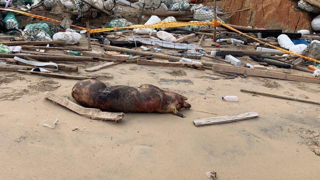 這頭去年底在金門金沙鎮海灘被發現的漂流死豬,身上驗出帶有非洲豬瘟病毒。圖/金門岸...