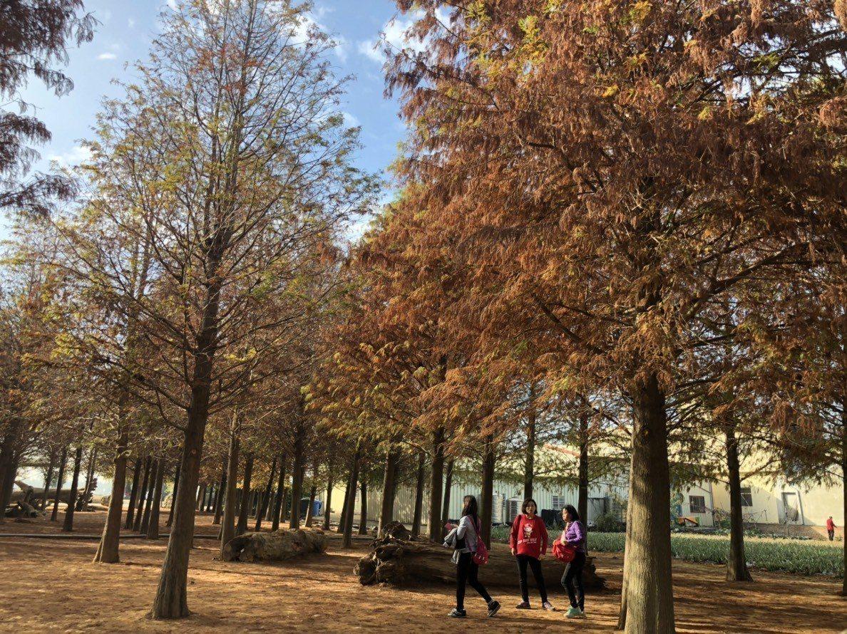 南投市八卦山的落羽松森林,搭配藍天白雲很有國外的風情,吸引遊客拍照打卡。記者江良...