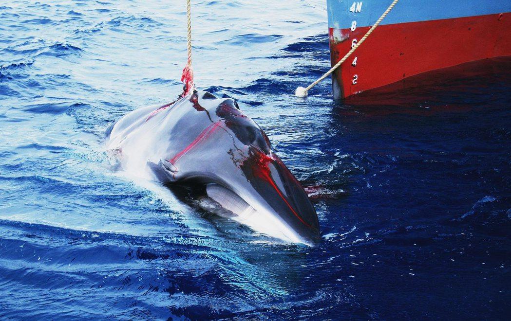 日本的科學捕鯨隊。過去日本在IWC監管下的活動,都以科學調查的名義前往南極海進行...