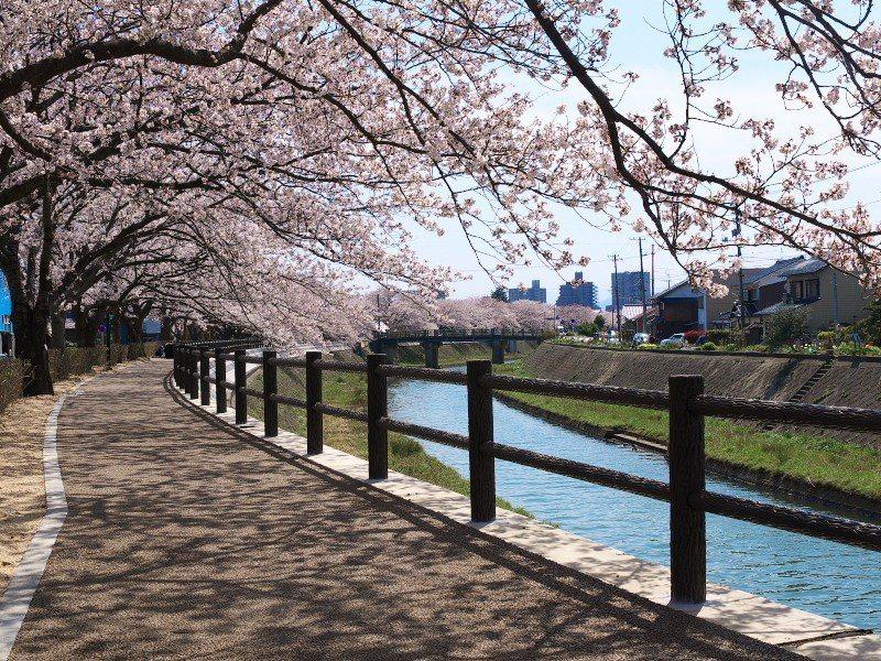 ▲日本櫻花季景點-鳥取袋川櫻花。(圖/©鳥取県)