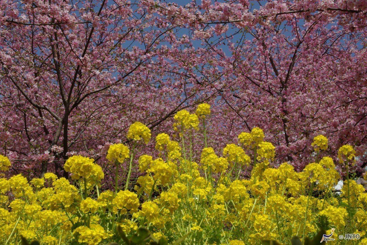 ▲日本櫻花季景點-靜岡河津櫻。(圖/©Yasufumi Nishi/©JNTO)