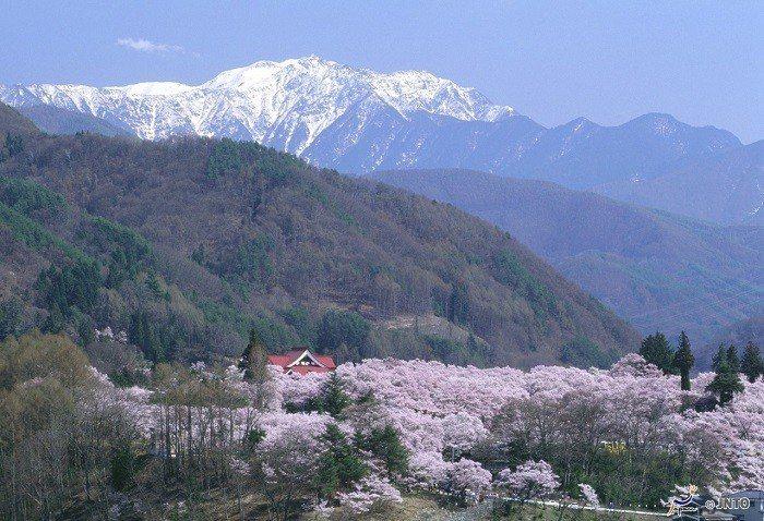 ▲日本櫻花季景點-長野高遠城櫻花祭。(圖/©Nagano Prefecture/...