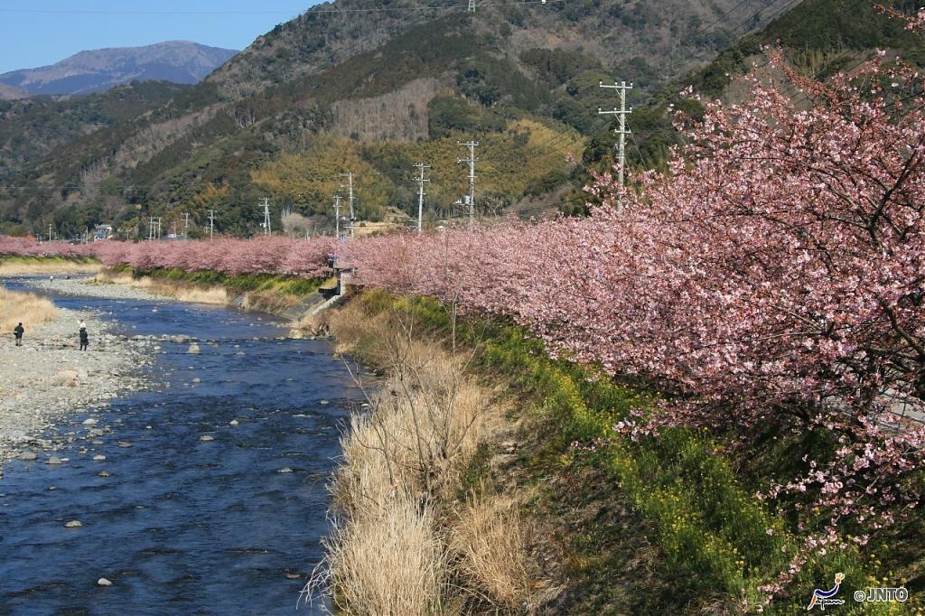 ▲日本櫻花季景點-靜岡河津櫻。(圖/©Akira Okada/©JNTO)