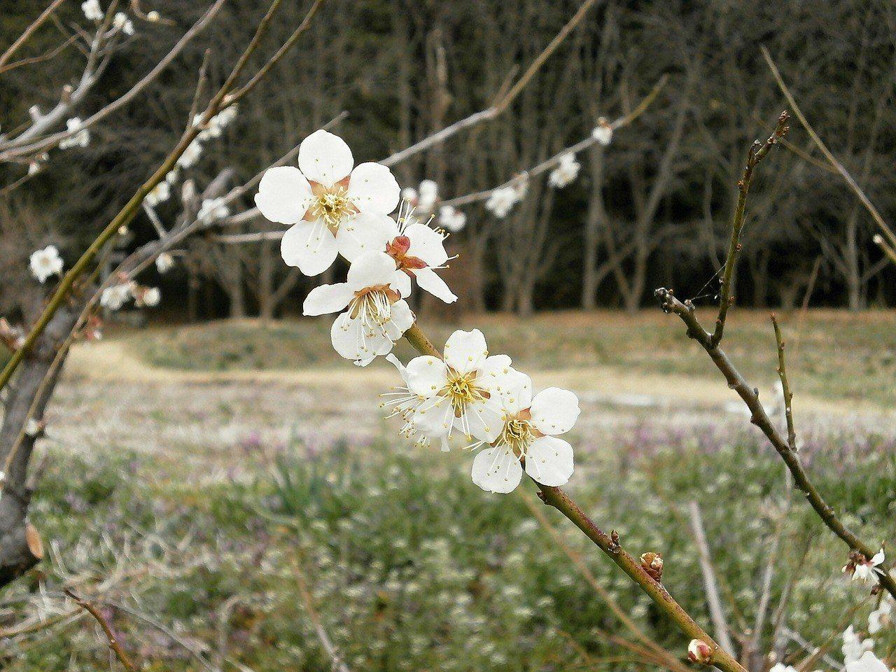 ▲南投賞梅花景點-推薦-梅花枝葉。(圖/Pixabay)