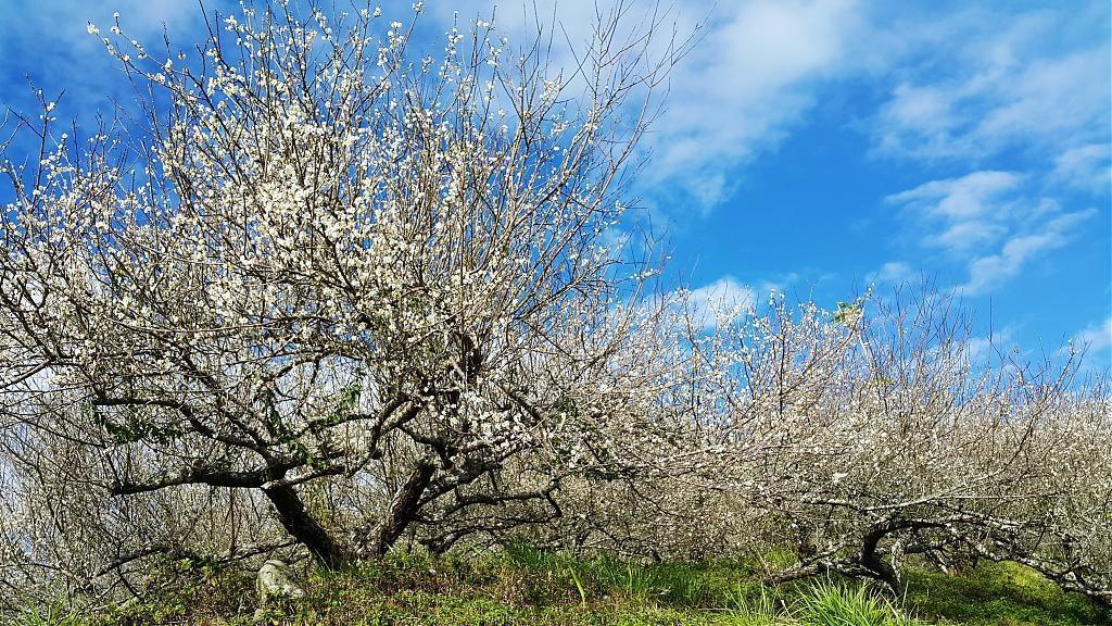 ▲台灣賞梅花景點推薦--鸞山森林榕樹。(圖/Tripbaa趣吧!亞洲自由行專家)