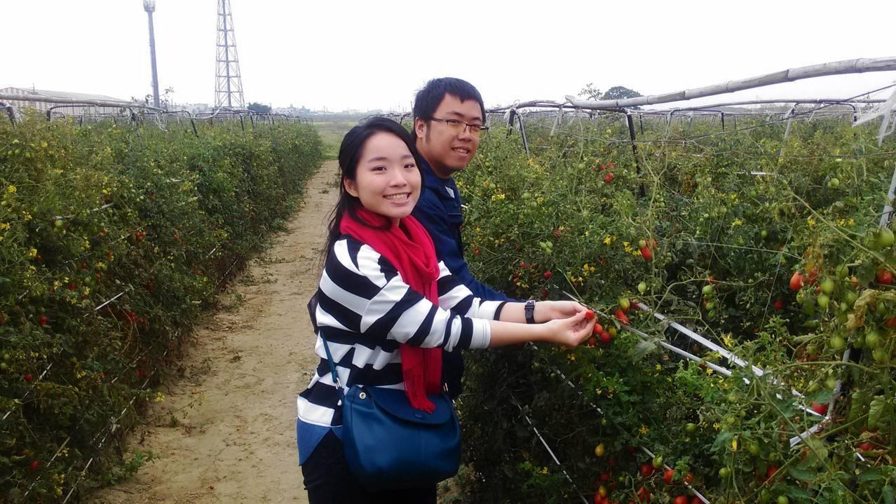 高雄路竹番茄進入產季,即日至農曆年都是盛產期。記者徐白櫻/翻攝
