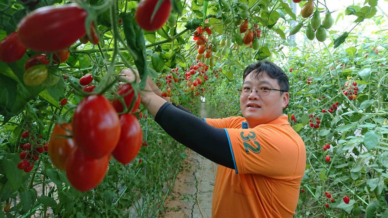 吳明鴻表示,前年寒流災損逼他借錢蓋溫室,才有機會種出冠軍小番茄。記者卜敏正/攝影