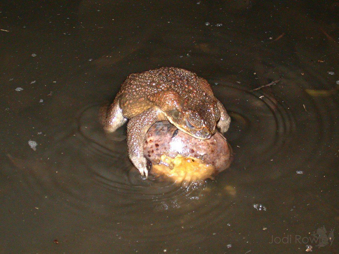 澳洲博物館(Australia Museum)的生物學家羅莉表示,海蟾蜍每到大雨...