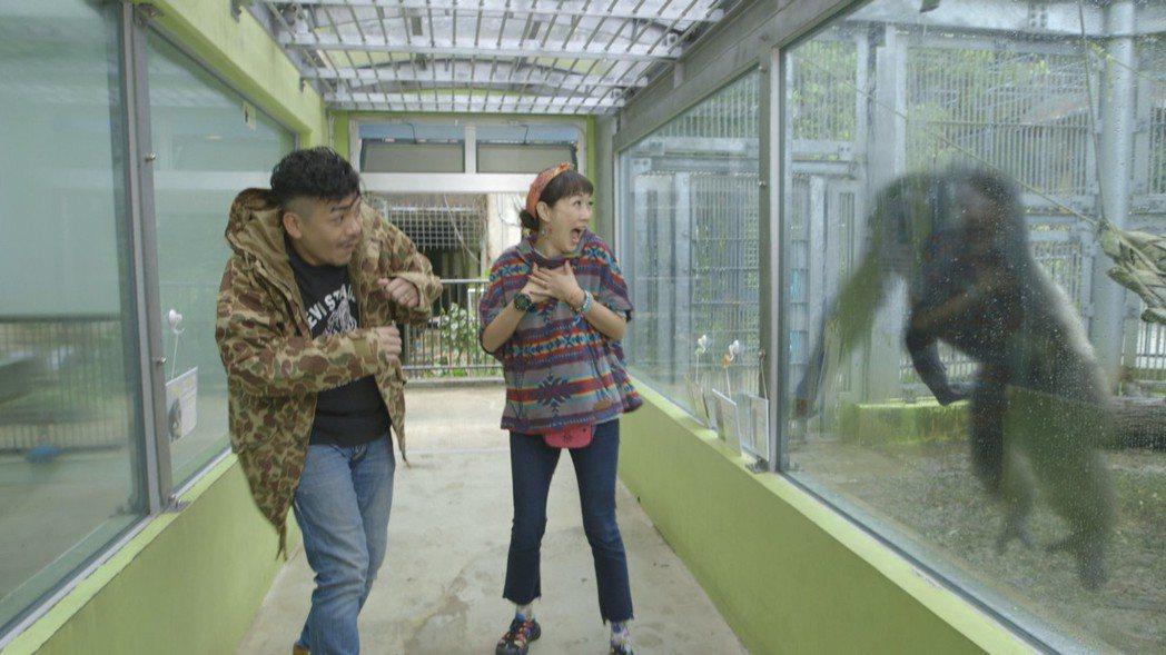 史丹利(左)和老婆Gigi在動物園裡突然遭到大猩猩撞玻璃攻擊,嚇了一大跳。圖/艾...
