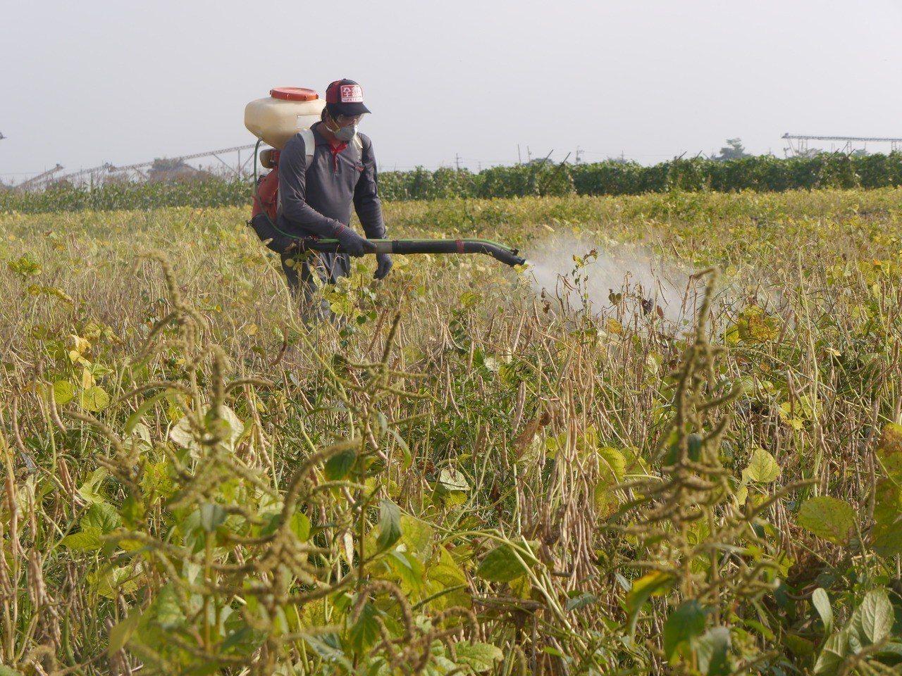 高雄美濃紅豆進入採收期,農民噴灑巴拉刈替代藥劑Na-yci1。記者徐白櫻/攝影