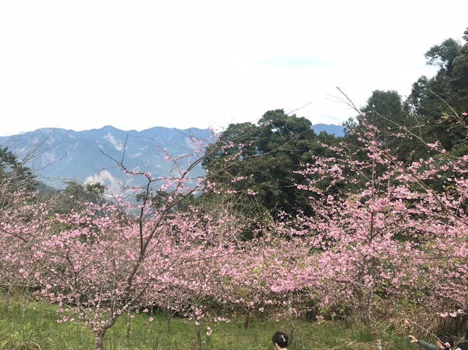 高雄桃源二集團部落海拔約1400 公尺,櫻花公園出現花開盛況。記者徐白櫻/翻攝
