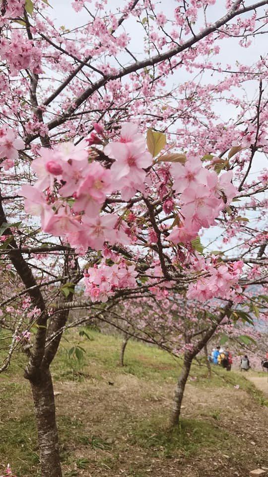 38甲櫻花公園栽種山櫻花、河津櫻、吉野櫻與富士櫻等品種櫻花,山櫻花的花期較晚。記...