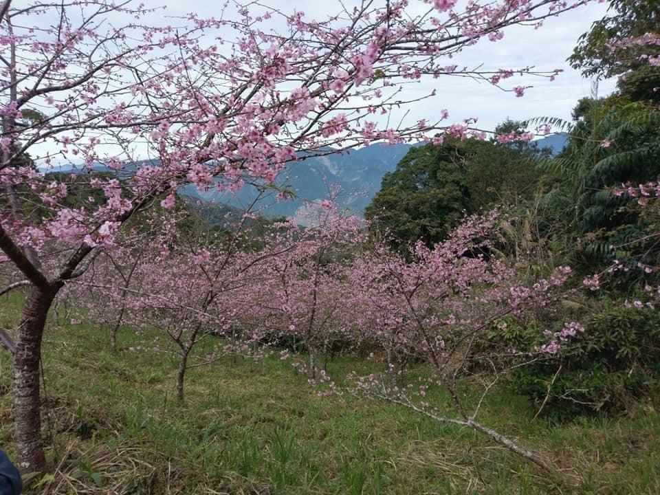 櫻花公園入口位於藤枝林道16.5公里處,沒有公車抵達。記者徐白櫻/翻攝
