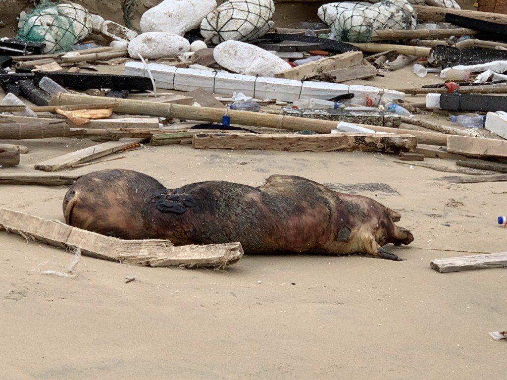 海漂至金門的死亡豬隻檢驗出非洲豬瘟基因病毒。 圖/農委會提供
