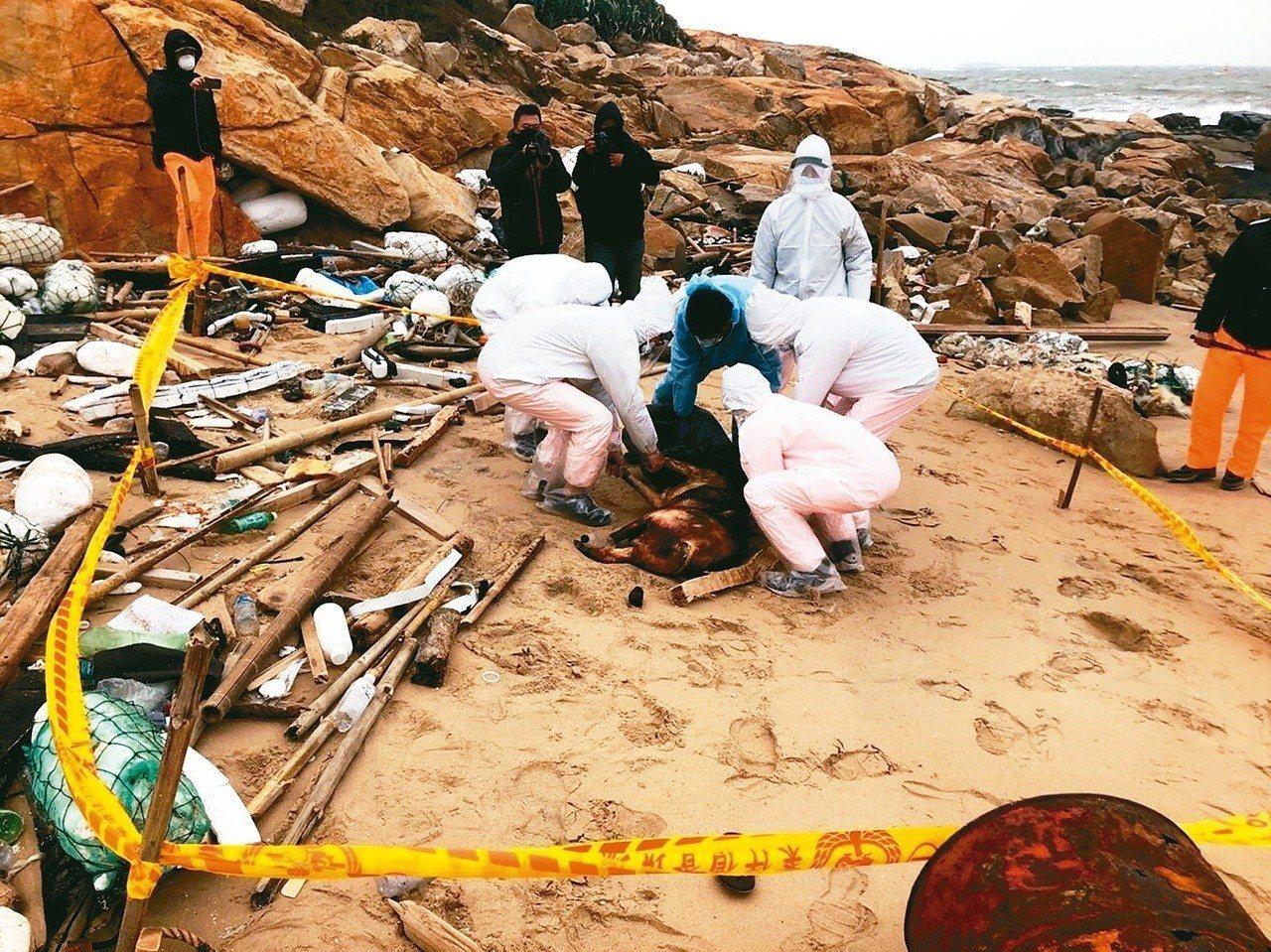 金門海邊去年底驚現漂流死豬,確認感染非洲豬瘟。事發後,非洲豬瘟中央災害應變中心對...