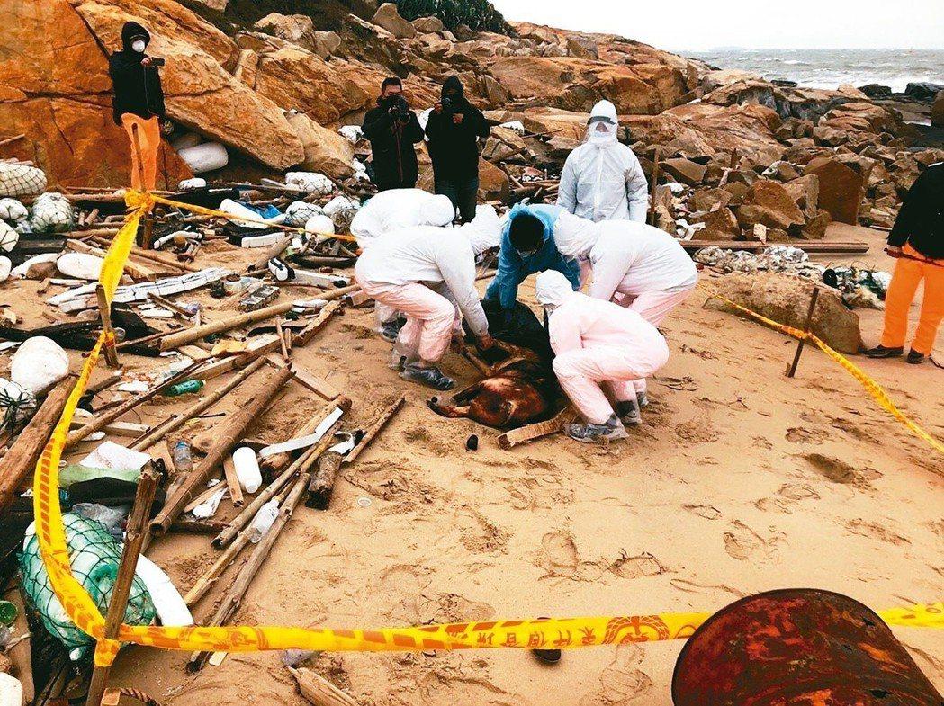 金門海邊去年底驚現漂流死豬,確認感染非洲豬瘟。圖/金門岸巡總隊提供