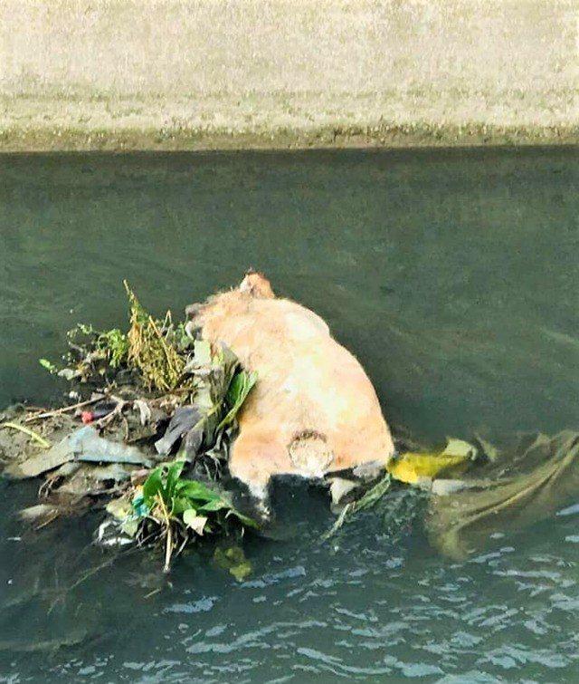 屏東縣萬丹鄉社皮大排水溝昨天傍晚發現1頭發臭死豬。圖/翻攝自李德全臉書