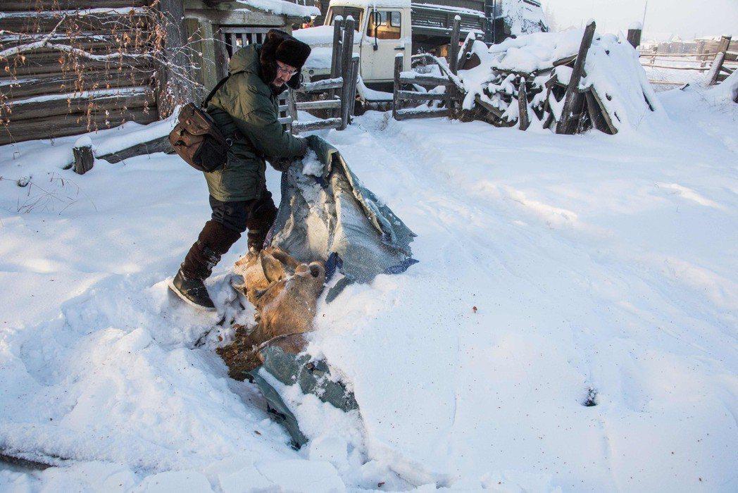 揭開防水布,雅庫特居民展示友人拾回的長毛象化石。法新社